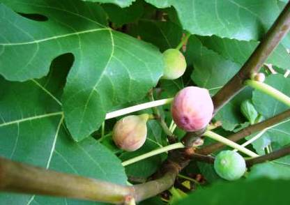 Little-Known Facts About Figs 1