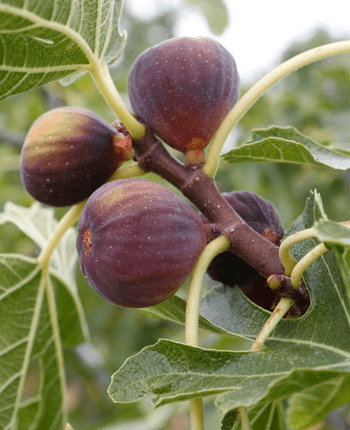 Little-Known Facts About Figs