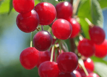 Cherries for Better Health: The Many Health Benefits of Cherries